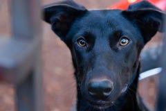 Zwarte hond met gele ogen stock afbeelding