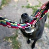 Zwarte hond met kabel Royalty-vrije Stock Foto's