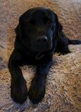 Zwarte hond op een bank royalty-vrije stock foto