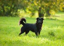 Zwarte hond op gras Royalty-vrije Stock Afbeeldingen