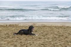 Zwarte hond op het strand stock fotografie