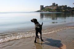 Zwarte hond op het strand Stock Afbeeldingen