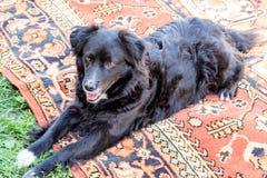 Zwarte hond pooch op het tapijt royalty-vrije stock afbeeldingen