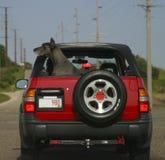 Zwarte hond in rode auto Stock Afbeelding