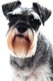 Zwarte hond Schnauzer royalty-vrije stock foto