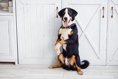 Zwarte hondpoedel op een leiband royalty-vrije stock afbeeldingen