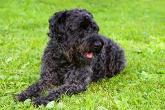 Zwarte hondterriër op het gras Royalty-vrije Stock Foto's