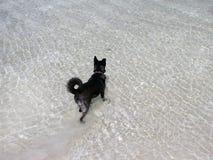 Zwarte hondtribunes in het water van het meer en het wachten stock foto's