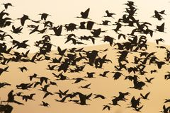 Zwarte ibis, glansig ibis, Plegadis falcinellus royaltyfri bild