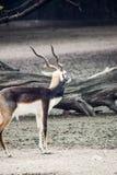 Zwarte Indische antilope Stock Afbeelding
