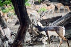 Zwarte Indische antilope Royalty-vrije Stock Fotografie
