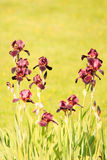 Zwarte Iris Royalty-vrije Stock Foto