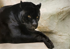 Zwarte jaguar Royalty-vrije Stock Afbeeldingen