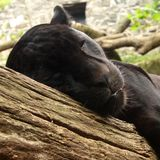 Zwarte Jaguar royalty-vrije stock foto