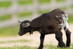 Zwarte jonge geit op landbouwbedrijfsteeg Stock Afbeelding