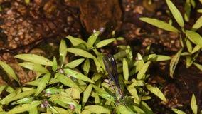 Zwarte juweel-vleugel damselfly op groene installaties stock videobeelden