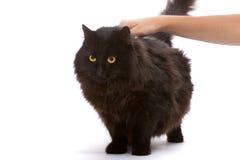 Zwarte kat. stock fotografie