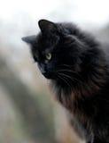 Zwarte kat Royalty-vrije Stock Foto's