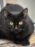 Zwarte kat Royalty-vrije Stock Foto