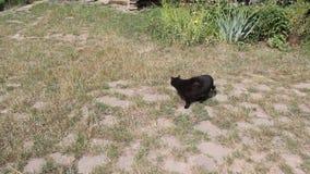 Zwarte kat stock videobeelden