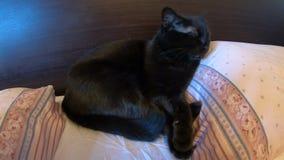 Zwarte kat in bed stock video