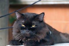 Zwarte kat die met bruine muur bepalen de kat is een klein geacclimatiseerd vleesetend zoogdier met zacht bont stock foto