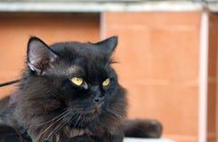 Zwarte kat die met bruine muur bepalen de kat is een klein geacclimatiseerd vleesetend zoogdier met zacht bont stock foto's