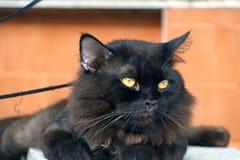 Zwarte kat die met bruine muur bepalen de kat is een klein geacclimatiseerd vleesetend zoogdier met zacht bont royalty-vrije stock afbeeldingen