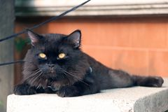 Zwarte kat die met bruine muur bepalen de kat is een klein geacclimatiseerd vleesetend zoogdier met zacht bont royalty-vrije stock fotografie