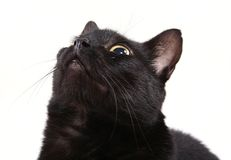Zwarte kat die omhoog geïsoleerdi kijkt Stock Afbeelding