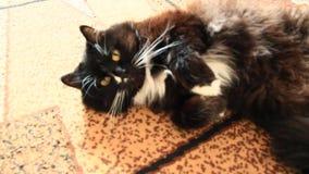 Zwarte kat die ongeveer op tapijt rondhangen Lui Huisdier stock footage