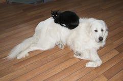 Zwarte kat die op grote witte hond de Grote Pyreneeën liggen Royalty-vrije Stock Fotografie