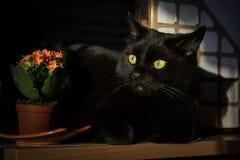 Zwarte kat en een pot van bloemen Kalanchoe Royalty-vrije Stock Foto