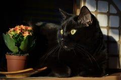 Zwarte kat en een pot van bloemen Kalanchoe Stock Foto's