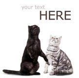 Zwarte kat en witte kat op wit. Stock Foto's