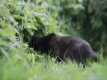 Zwarte kat in het gras stock videobeelden