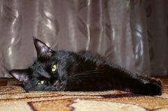 zwarte kat Maine Coon Royalty-vrije Stock Fotografie