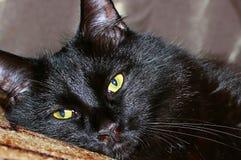 zwarte kat Maine Coon Royalty-vrije Stock Afbeelding