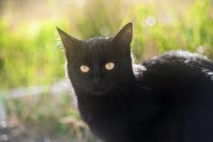 Zwarte kat met gele ogen Stock Afbeeldingen