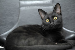 Zwarte kat met gele ogen Stock Foto's
