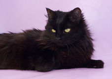 Zwarte kat met gele ogen die op purple liggen Stock Foto's