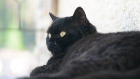 Zwarte kat met gele ogen openlucht De zwarte kat ligt buiten op het balkon, het letten op Selkirk Rex stock video