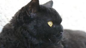 Zwarte kat met gele ogen openlucht De zwarte kat ligt buiten op het balkon, het letten op Selkirk Rex stock videobeelden