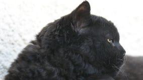 Zwarte kat met gele ogen openlucht De zwarte kat ligt buiten op het balkon, het letten op Selkirk Rex stock footage