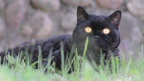 Zwarte kat met gele ogen openlucht De zwarte kat ligt buiten op het gras lettend op het omringen Selkirk Rex stock footage