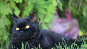 Zwarte kat met gele ogen openlucht De zwarte kat ligt buiten op het gras lettend op het omringen Selkirk Rex stock video