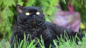 Zwarte kat met gele ogen openlucht De zwarte kat ligt buiten op het gras lettend op het omringen Selkirk Rex stock videobeelden