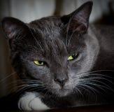Zwarte kat met gloeiende groene ogen Close-up van een roofzuchtig gezicht royalty-vrije stock afbeelding