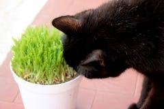 Zwarte kat met gras Royalty-vrije Stock Afbeeldingen