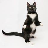 Zwarte kat met witte overhemds voor en gele ogen die zich op hin bevinden Stock Foto's